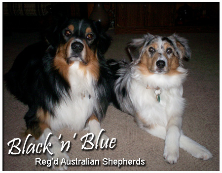 Black 'N Blue Australian Shepherds