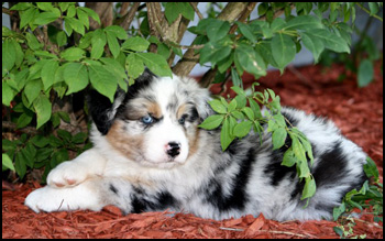Cedarpaws Australian Shepherds