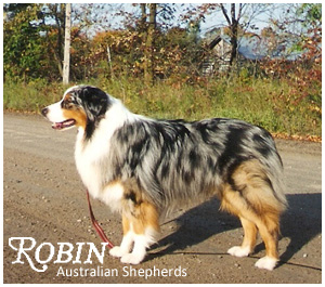 Welcome to robin australian shepherds dedicated to preserving a robin australian shepherds malvernweather Images