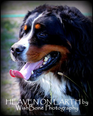Heaven on Earth Bernese Mountain Dogs