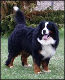 Sandylane Reg'd Bernese Mountain Dogs