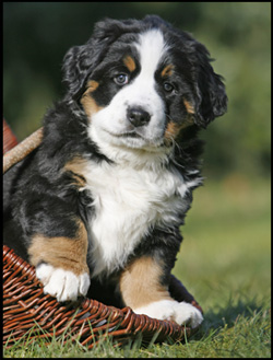 bernese mountain dog adoption