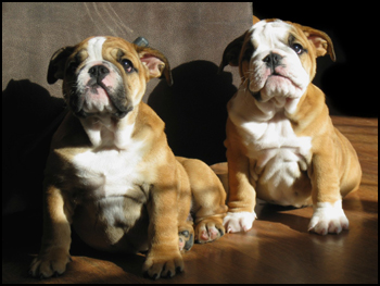 Bulldog Breeders - Canada's Guide to Dogs