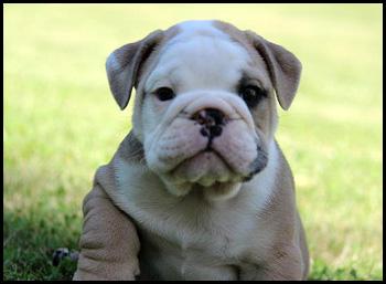 Listerbulldogs