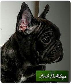 French Bulldog Breeders Canada S Guide To Dogs French Bulldogs