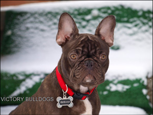 French bulldog sale toronto