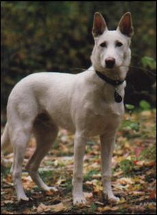 Canaan Dog Breeders Canada