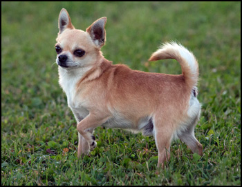 Jones Chihuahua