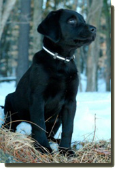 Copperstone Labradors