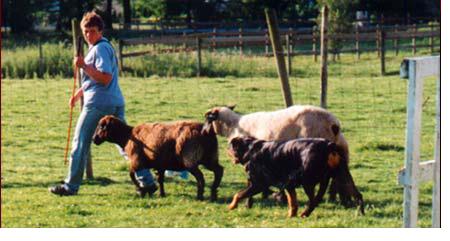 Rottweiler Herding Sheep