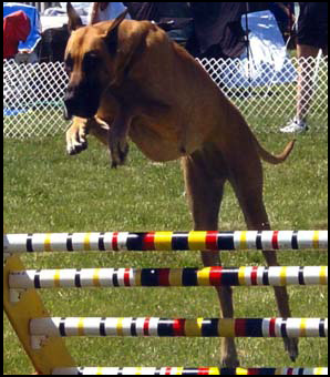 Great Dane and Agility
