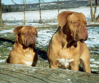 dogue de bordeaux feeding guide