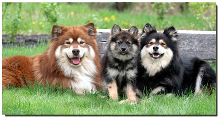 http://www.canadasguidetodogs.com/customergraphics/finnishlapphund_top.jpg