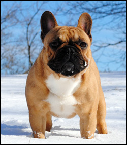 Aristocrafts French Bulldogs