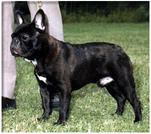 French Bulldog Breeders Canadas Guide To Dogs