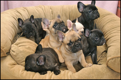 Robb Isle Perm. French Bulldogs
