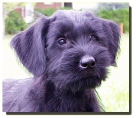 Giant Schnauzer Puppies on Giant Schnauzer   Canada S Guide To Dogs