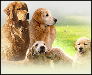 Arcane Golden Retrievers Perm. Reg'd