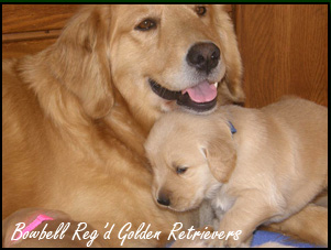 Bowbell Reg'd Golden Retrievers