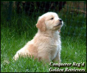 Conquerer Golden Retrievers