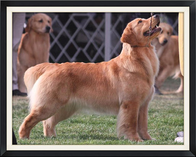 Goldstreak Golden Retrievers