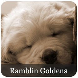 Ramblin Golden Retrievers