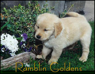 Ramblin Golden Retriever