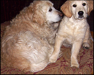 Shaynedoro Golden Retrievers