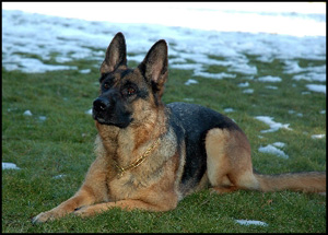 Guardian German Shepherds