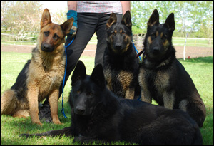 Ulvilden German Shepherds