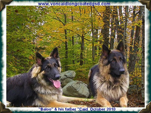 Von Caid Long Coated German Shepherds