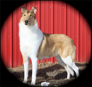 Glendamar Collies