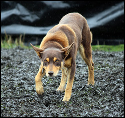 Australian Kelpie, Photo courtesy