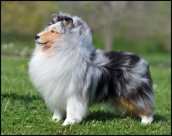 shetland sheepdog sheltie canada s guide to dogs shelties