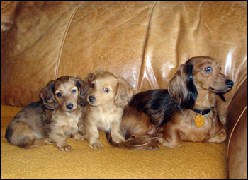 Dachshund Breeders - Canada's Guide to Dogs