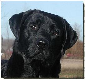 Kriscoland Labrador Retrievers (Perm.Reg'd)