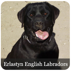 Erlastyn English Labradors