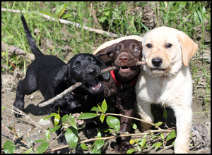 Eromit Labrador Retrievers
