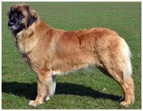 Leonberger Breeders - Canada's Guide to Dogs - Working Dog Breeds