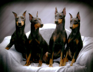 Kennel Club Breed Information Manchester Terrier | Pomsky Picture