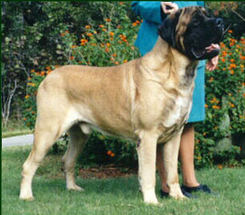 zorba Mastiff Pros and Cons