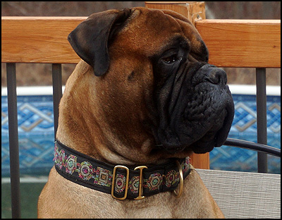DeVersailles Bullmastiffs