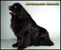 Newfoundland Dog - Marcarpents Kennels