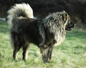 Caucasian Ovcharka Mountain Dog
