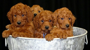 Standard Poodle Breeders Canadas Guide To Dogs