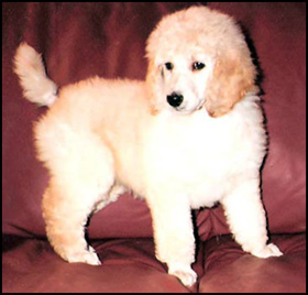 Khalsa Permanent Registered Standard Poodles