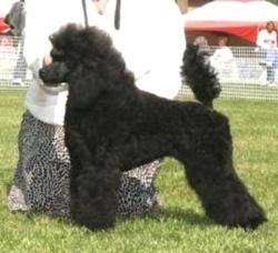Lezerin Reg'd Miniature Poodles