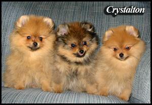 Toy Pomeranian Breeders Ontario – Wow Blog