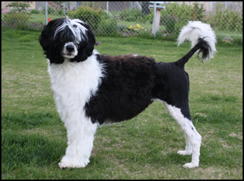Aveiro Portuguese Water Dogs