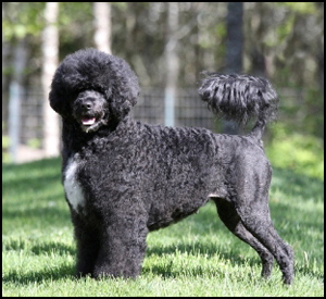 Belouro Portuguese Water Dogs Reg'd